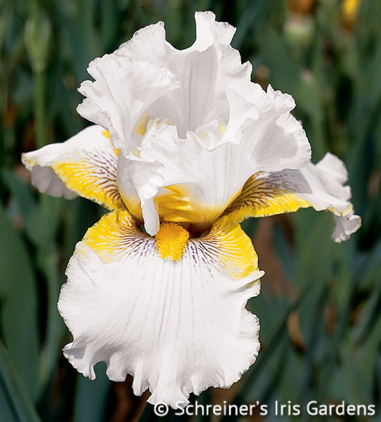 Goldkist | Tall Bearded Iris