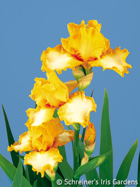 Good Vibrations | Tall Bearded Iris