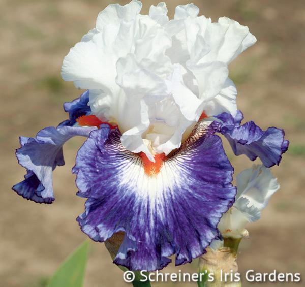 Gypsy Lord | Tall Bearded Iris
