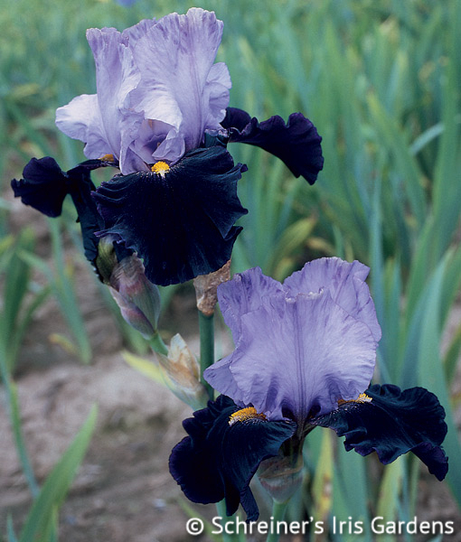 Habit | Tall Bearded Iris