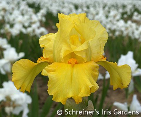 Harmonium | Intermediate Bearded Iris