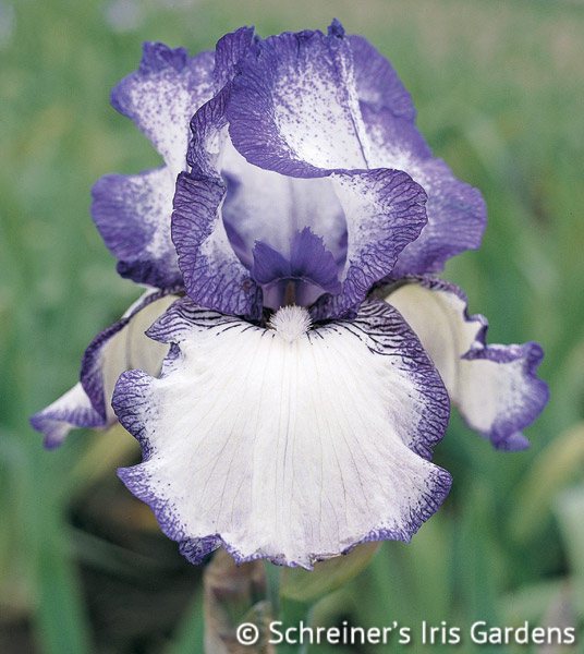 Hemstitched | Reblooming Iris: Colorful Summer Blossoms