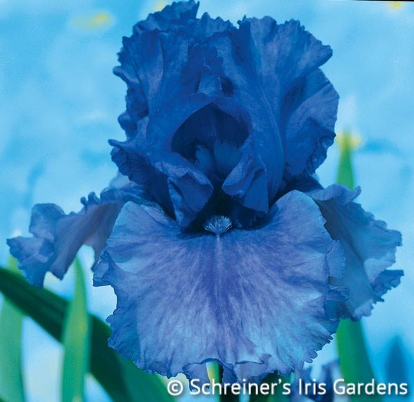Honky Tonk Blues | Tall Bearded Iris