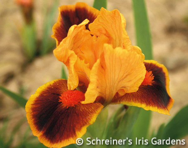 Icon | Dwarf Bearded Iris