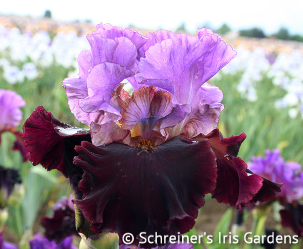 I'm Back | Reblooming Iris: Colorful Summer Blossoms