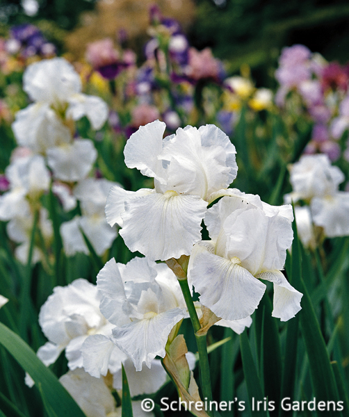 Immortality | Fragrant Iris