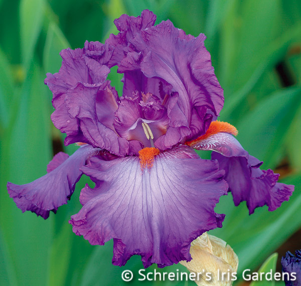 Imperial Reign | Tall Bearded Iris