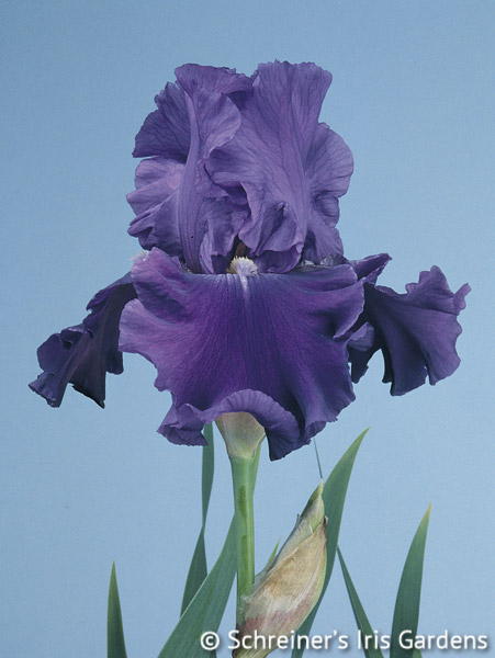 Indigo Princess | Tall Bearded Iris