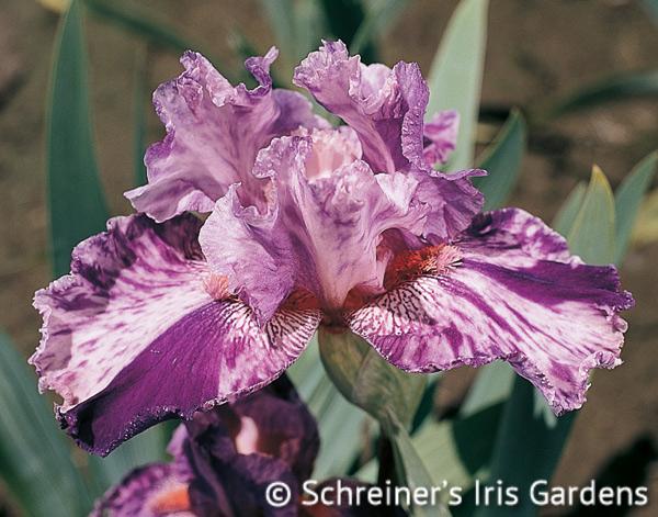 Isn't This Something | Tall Bearded Iris