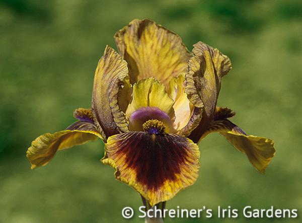 It's A Giggle | Brown Iris