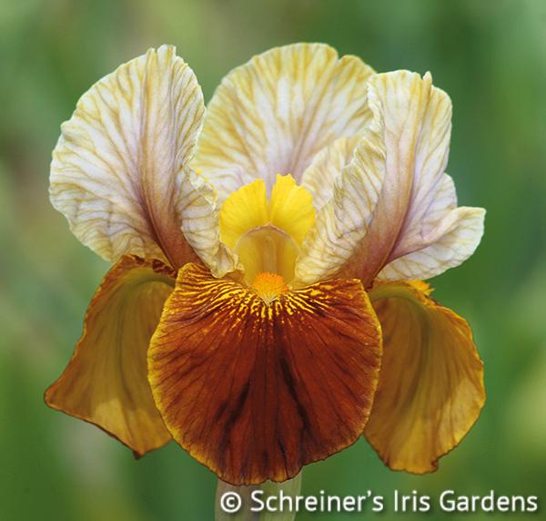 Jallab | Brown Iris