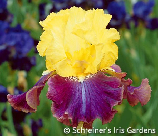 Jamaican Dream | Yellow Iris