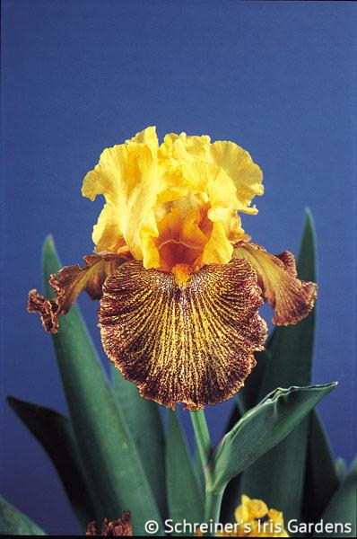 Jitterbug | Yellow Iris