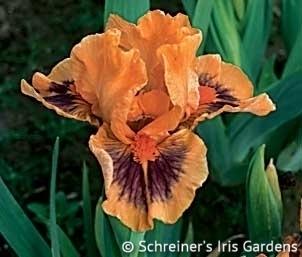 Jive | Dwarf Bearded Iris