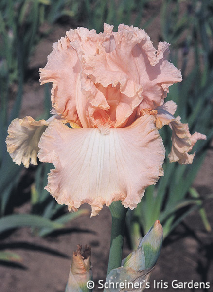 Lace Artistry | Historical Bearded Iris