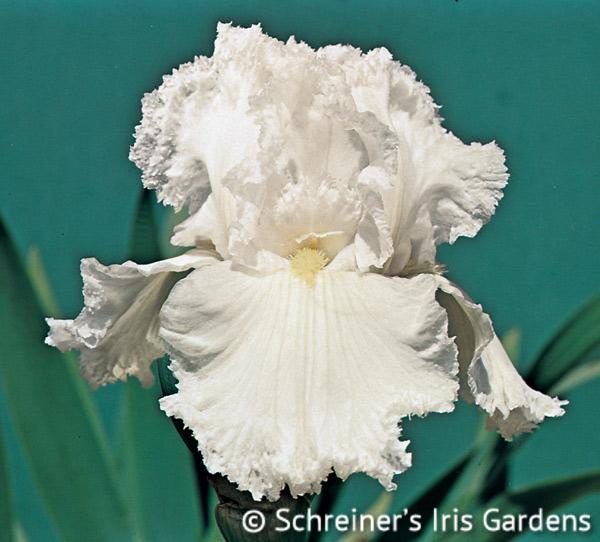 Laced Cotton | White Iris