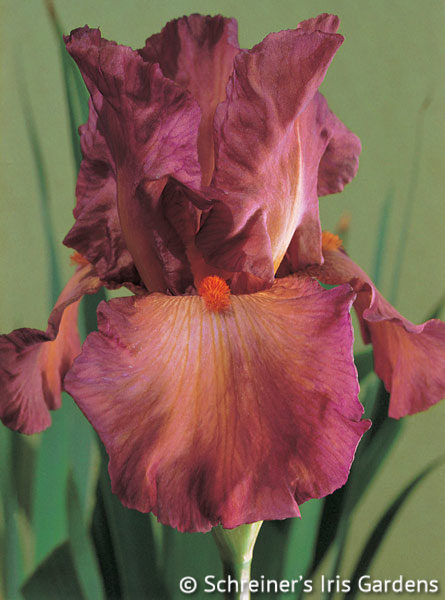 Lady Friend | Tall Bearded Iris