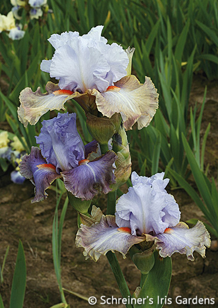 Legerdemain | Tall Bearded Iris