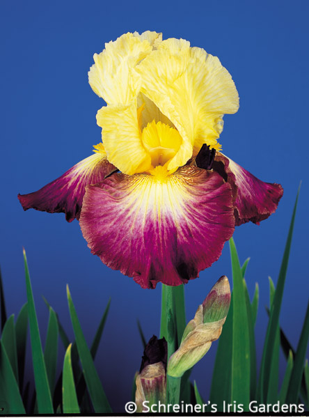 Lightshine | Tall Bearded Iris