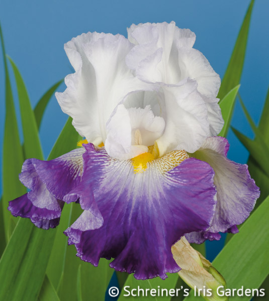 Like Wow | Tall Bearded Iris