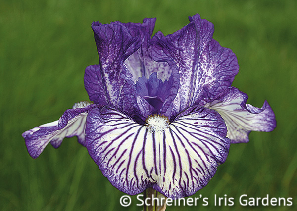 Line Drive | Intermediate Bearded Iris