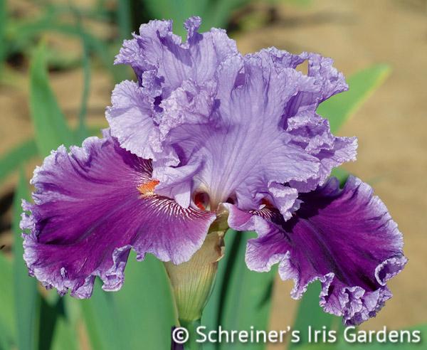 Louisa's Song | Tall Bearded Iris