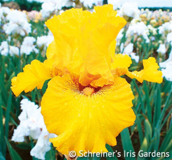 Louis D'Or | Tall Bearded Iris