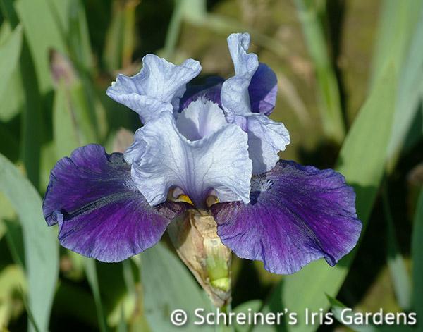 Mariposa Wizard | Intermediate Bearded Iris