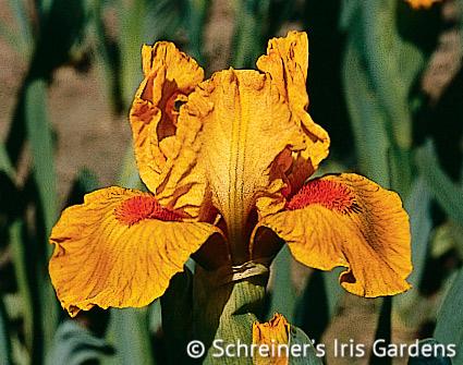 Marksman | Orange Iris