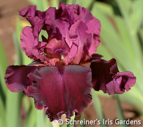 Medici Prince | Tall Bearded Iris