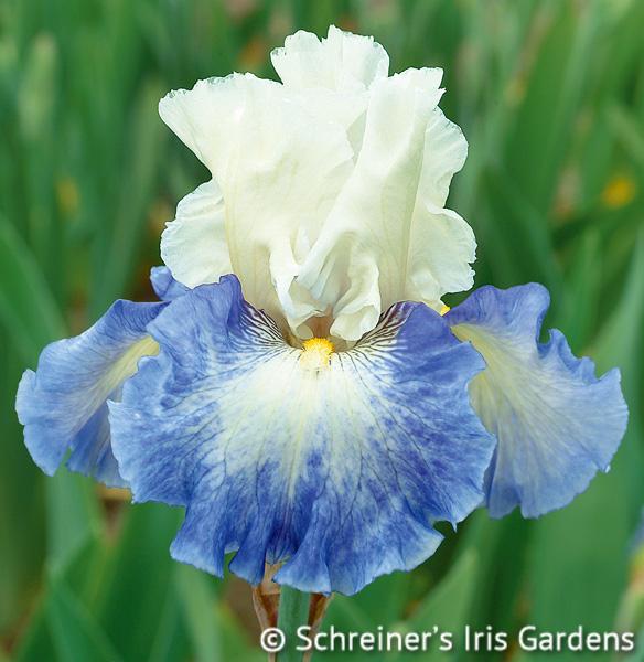 Miles Ahead   Tall Bearded Iris