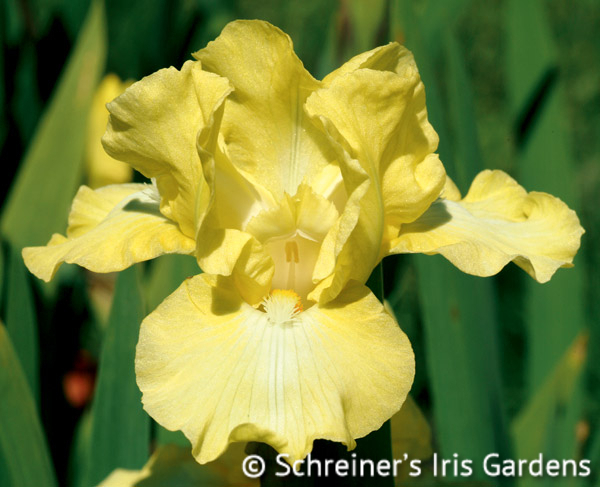 Ming | Intermediate Bearded Iris