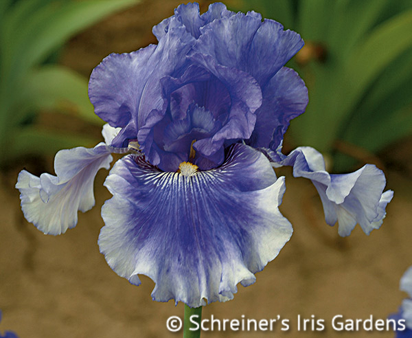 Money In Your Pocket | Tall Bearded Iris