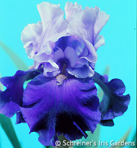 Mystique | Tall Bearded Iris