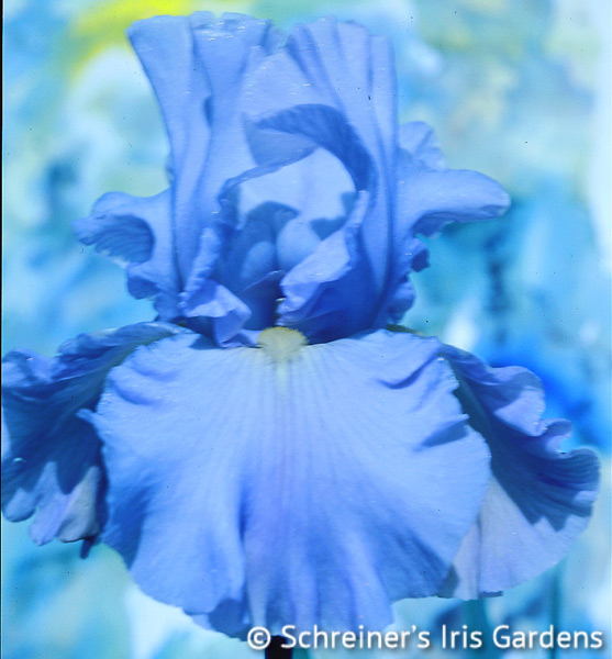 Navajo Jewel | Tall Bearded Iris