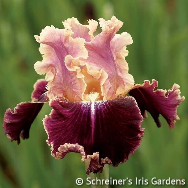 New Leaf Iris M O