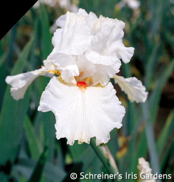 Nordica | Tall Bearded Iris