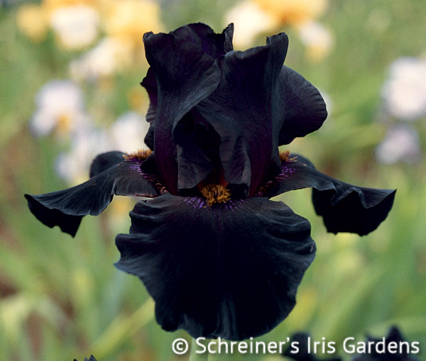 Old Black Magic | Fragrant Iris