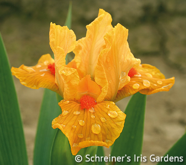 Orange Daiquiri | Dwarf Bearded Iris