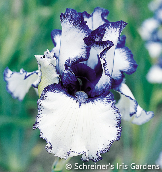 Orinoco Flow | Border & Table Bearded Iris