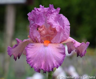 Nuit De Noce | Pink Iris