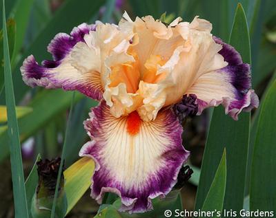 Uninhibited | Tall Bearded Iris