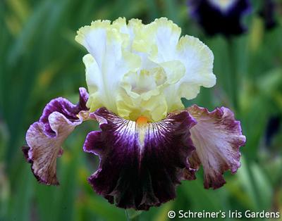 Comedy | Tall Bearded Iris