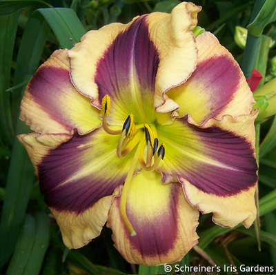 Avalon Bay|Maryott Daylilies