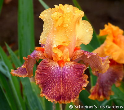 William Dykes Medal Winners Iris Collection | Shop Discounted Iris Collections