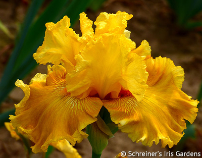 Oregon Firestorm | Tall Bearded Iris