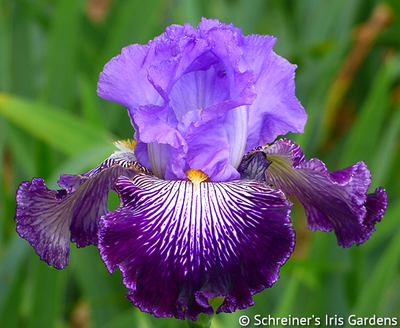 Jawbone Flats | Purple Iris