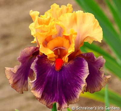 Smith Rock | Yellow Iris