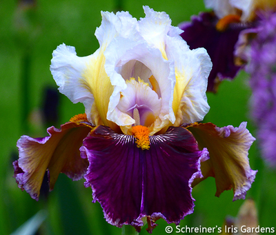 Thorn | Tall Bearded Iris