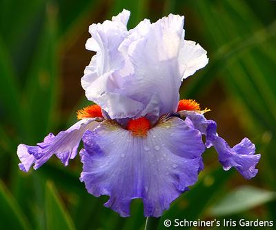 Broken Top | Tall Bearded Iris